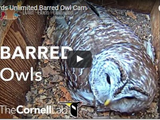 Live Barrel Owls Birds Nest Camera Stream Feed Zionsville Indiana